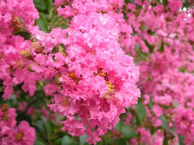 大通公園の花