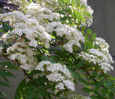 ナナカマドの花が咲いた