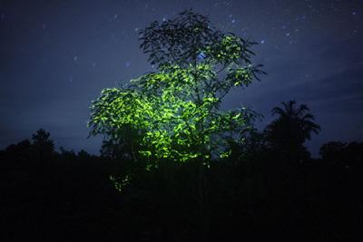 ホタルの木