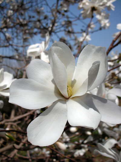 さっぽろ百合が原公園に咲くコブシ(モクレン)