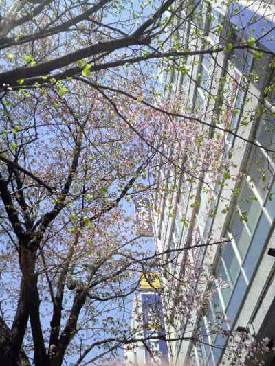 札幌で咲く桜