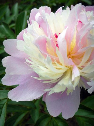 芍薬(しゃくやく)百合が原公園の花