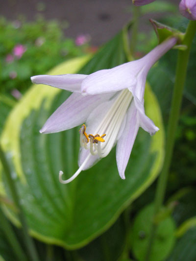 ギボウシ(擬宝珠)の花