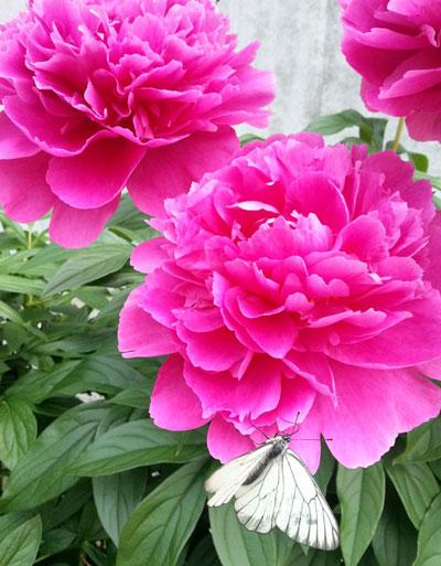 ご近所の花シリーズ