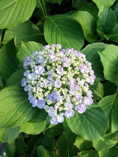 おかめ紫陽花
