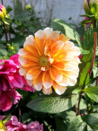 ご近所の花