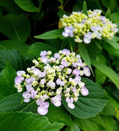 おかめ紫陽花(別名ポップコーン)