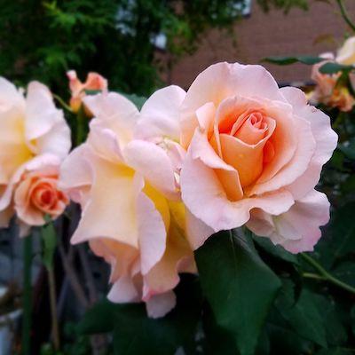 綺麗な色の薔薇