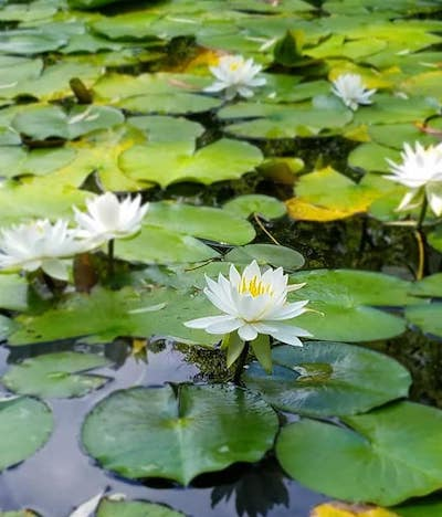 北海道大学構内の大野池の蓮の花